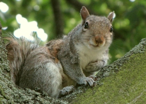 eastern-gray-squirrel
